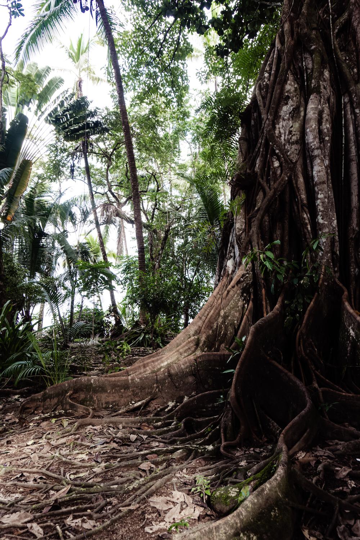 Die Pazifikküste Costa Rica's rauf und runter - Drake Bay riesige Bäume