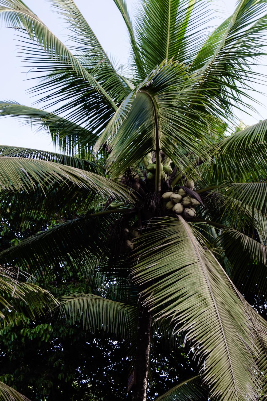 Die Pazifikküste Costa Rica's rauf und runter  - Pavones Kokospalme