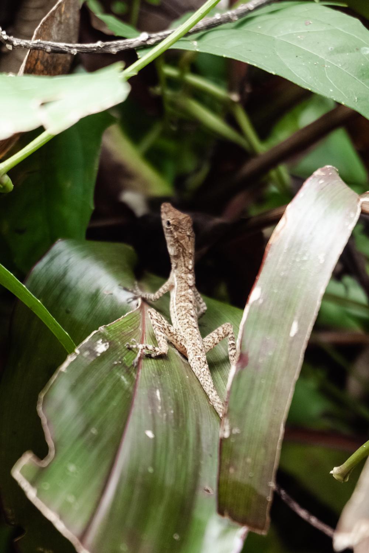 Die Pazifikküste Costa Rica's rauf und runter - Drake Bay Echse