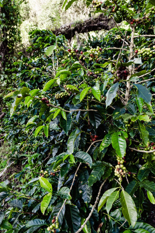 Eine Woche in Costa Rica - Coffee