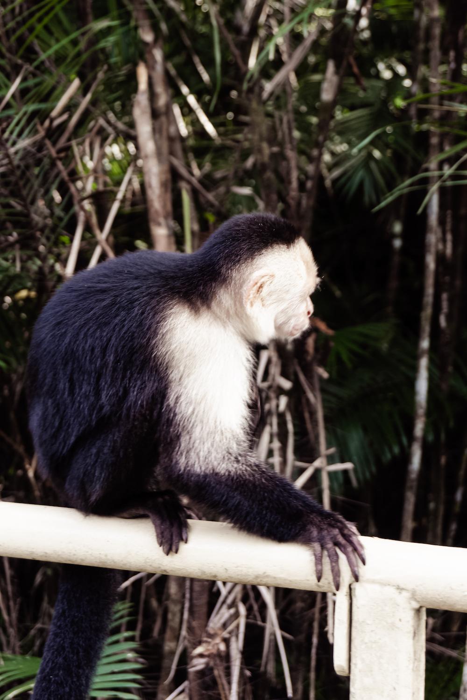 Die Pazifikküste Costa Rica's rauf und runter - Affe