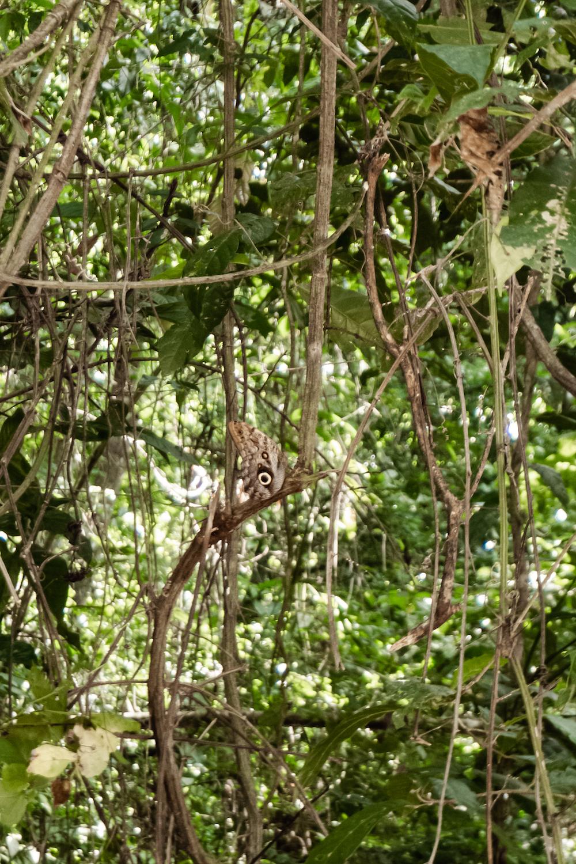 Die Pazifikküste Costa Rica's rauf und runter - Manuel Antonio Schmetterling