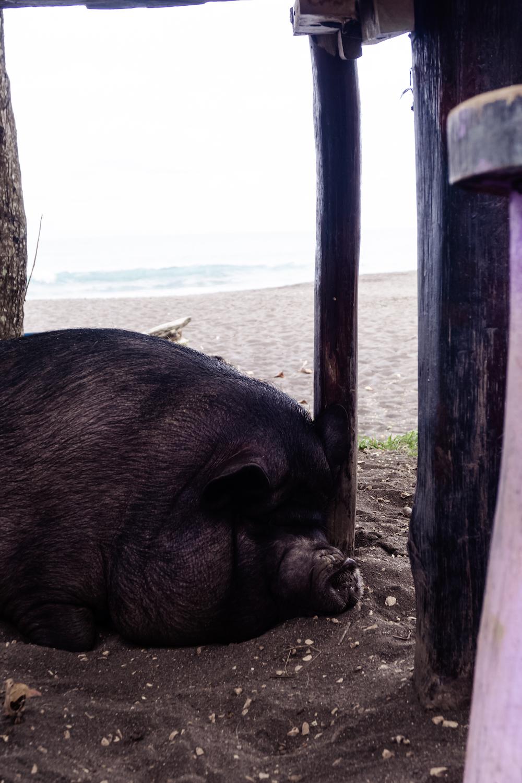 Playa Hermosa Schweinchen am Strand