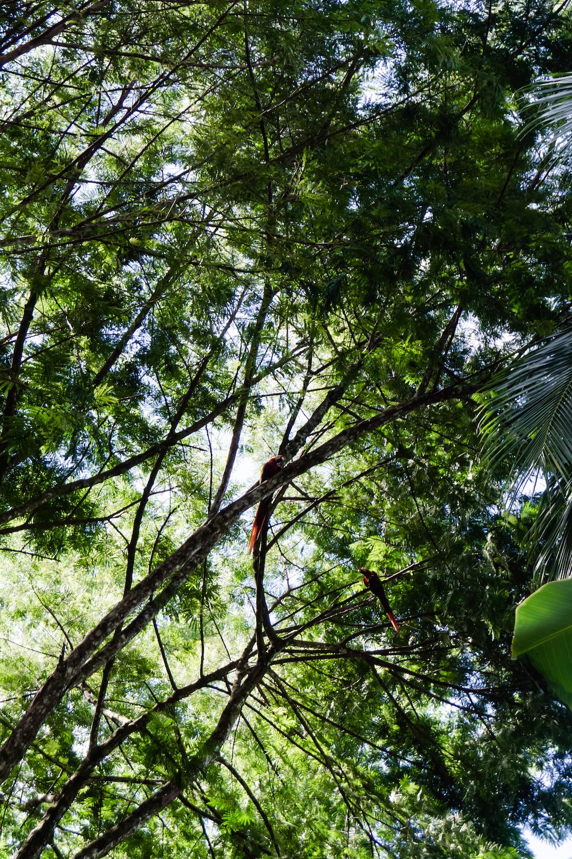Die Pazifikküste Costa Rica's rauf und runter - roter Ara