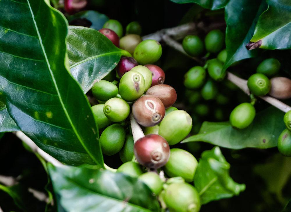 Zu Gast auf der Kaffeefarm von J Hornig Kaffee - Kaffee und der Anbau in Costa Rica